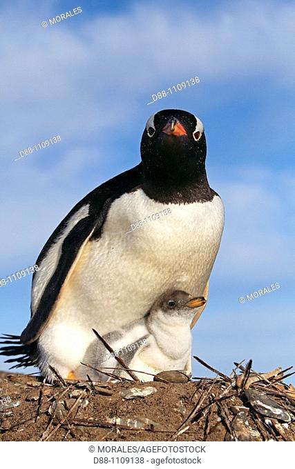 Gentoo Penguin(Pygoscelis papua papua). Sealion Island, Falkland Islands