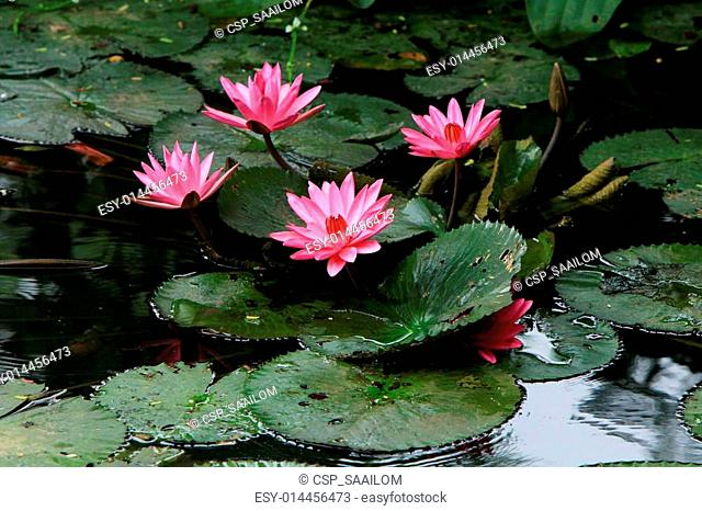 Pink lotus in the water