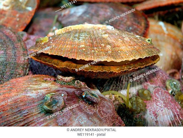 Scallops Pectinidae Barents Sea, Russia, Arctic