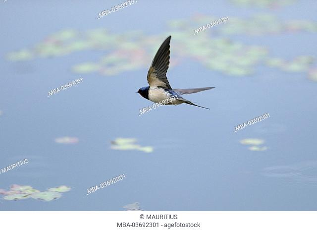 Swallow, Hirundo rustica, flying over a lake