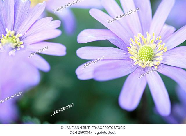 blue blanda, beautiful daisy-like Spring flowers