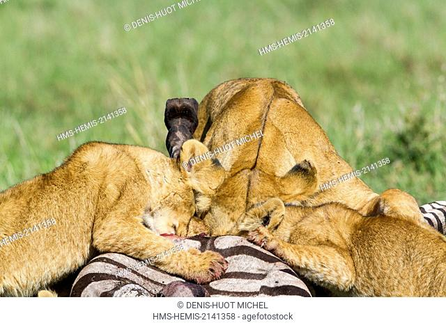 Kenya, Masai Mara game Reserve, lion (Panthera leo), lionesses and young ones eating a zebra