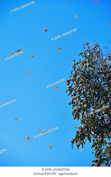 Monarch (Danaus plexippus) in flight in eucalyptus woodland, Pismo Beach State Park, California, USA