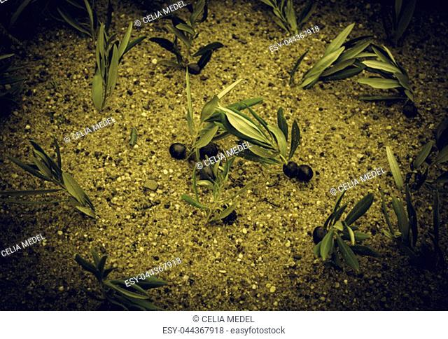Olive trees in the field, agriculture and harvest, nature