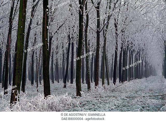 Soft rime on trees in a poplar grove