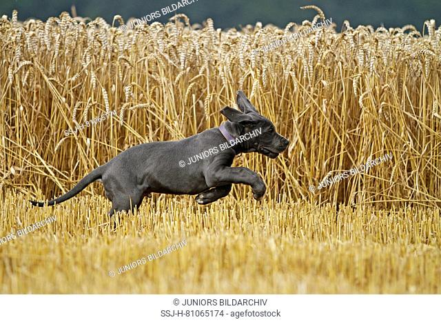 Great Dane. Puppy running in front of a ripe wheat field. Germany