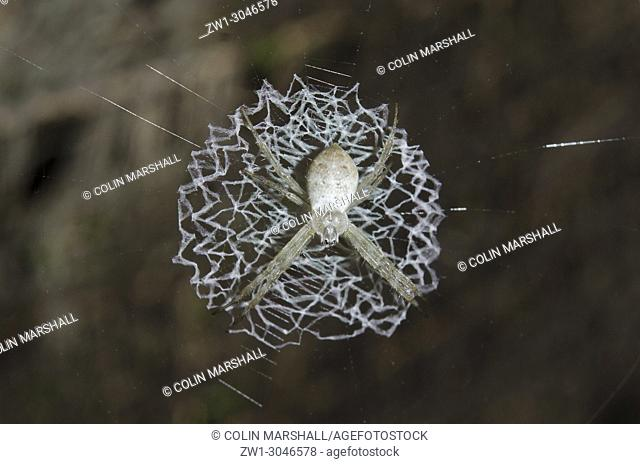 Spider (Araneae Order, Araneidae family, Argiope sp. ) with lace-like patterned web (stabilimentum), Klungkung, Bali, Indonesia