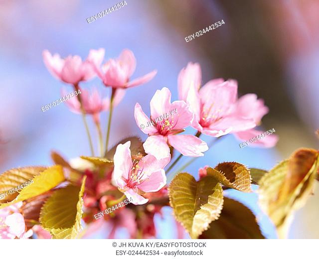 Pink Sakura flowers blooming in the garden, springtime