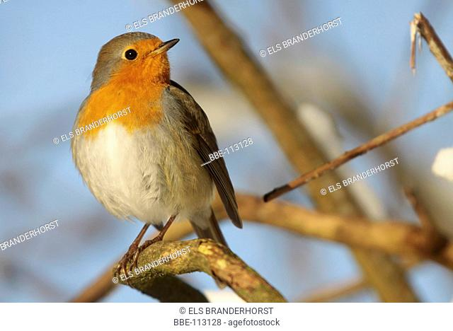 Robin in a natural environment