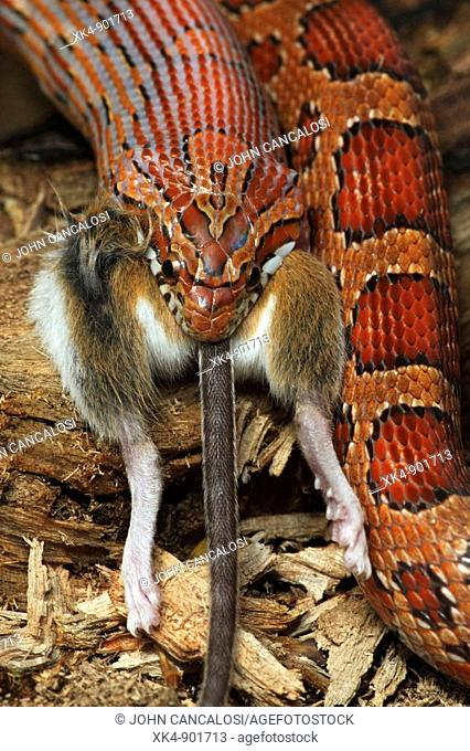 Corn Snake (Pantherophis guttatus) eating a mouse, captive. Formerly Elaphe guttata - Native to southeastern United States - One of the most common pet snakes...