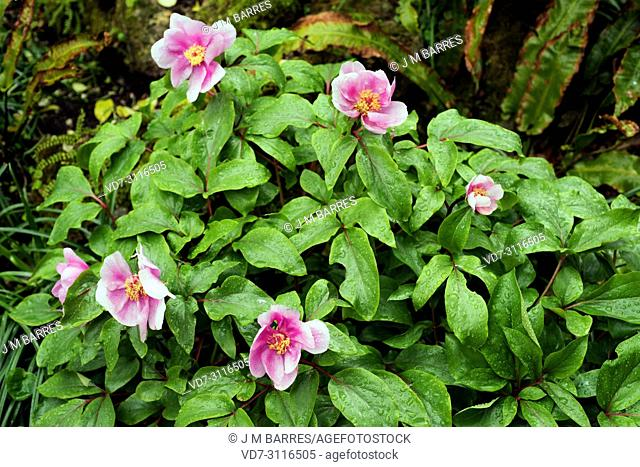 Coral peony (Paeonia mascula) is a perennial herb native to north Mediterranean Basin from Spain to Lebanon