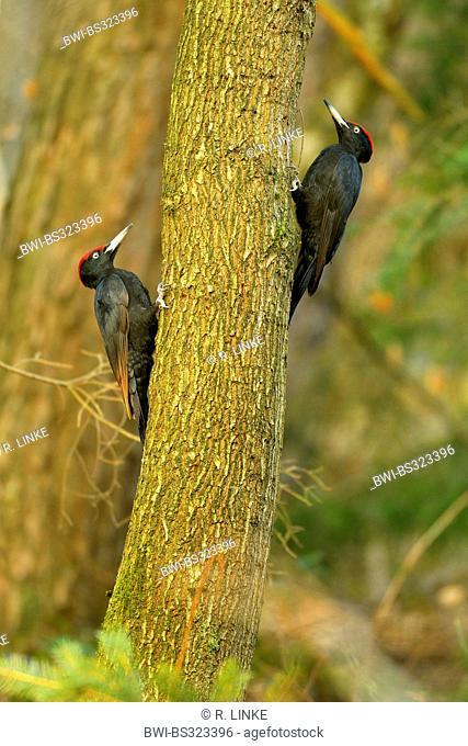 black woodpecker (Dryocopus martius), sitting at a pine trunk, Germany, Hesse