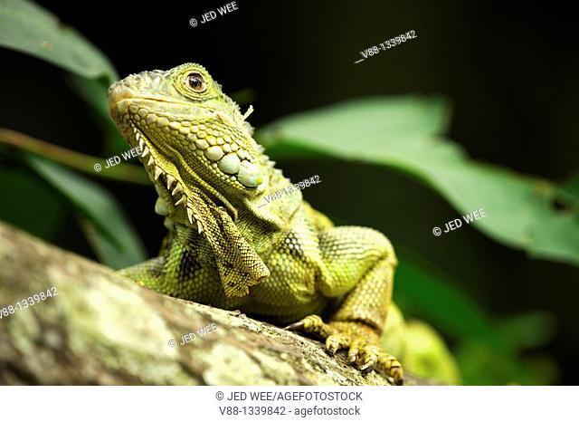 Green Iguana (Iguana iguana), Singapore Zoological Gardens, Singapore