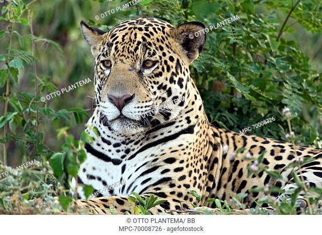 Jaguar (Panthera onca) resting, Pantanal, Brazil