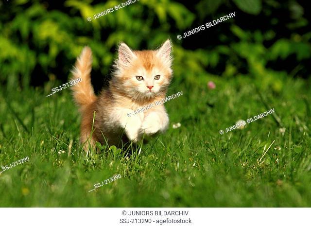 American Longhair, Maine Coon. Kitten (6 weeks old) jumping on a meadow. Germany