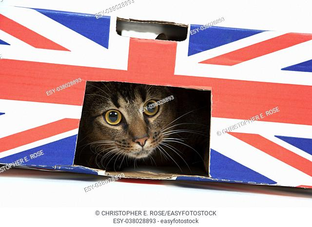 Cute wide-eyed part Abyssinian young male cat plays in a Union Jack marked cardboard box
