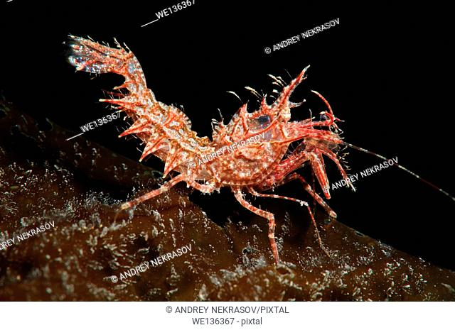 Sharps shrimp (Rhynocrangonsharpi, Ortmann) Japan sea, Far East, Primorsky Krai, Russian Federation