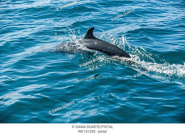 """"""""""" Dolphin"""" (Tursiops truncates),Common Dolphins use echolocation and many vocalizations to communicate with each other, and may be considered affectionate"