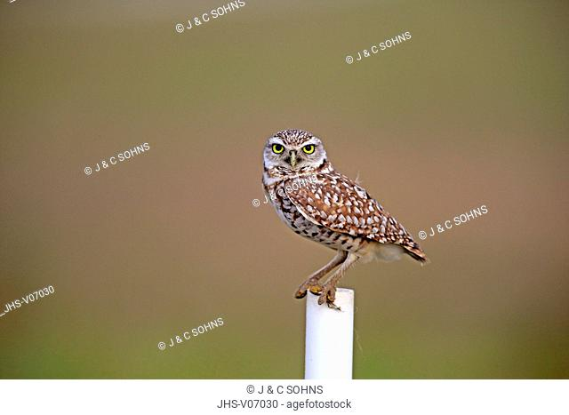 Burrowing owl, (Athene cunicularia), Cape Coral, Florida, USA, North America, adult on branch