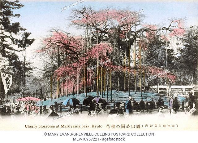 Japan - Cherry Blossoms in Maruyama Park, Kyoto. The park's star attraction is a weeping cherry tree (shidarezakura)