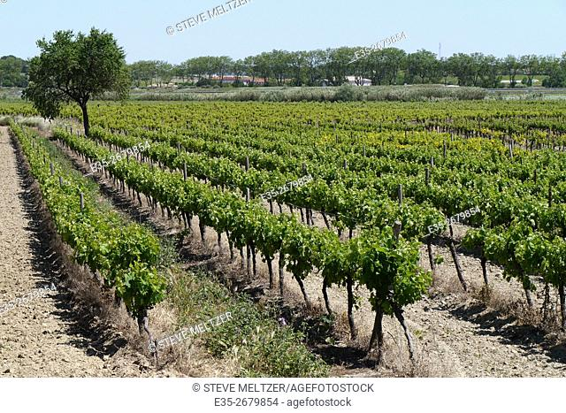 LAte spring vineyard in the South of France