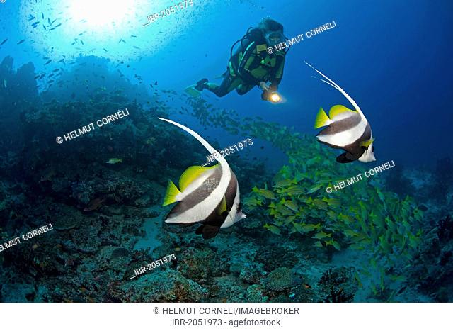 Scuba diver with two Bannerfish (Heniochus diphreutes), shoal of Blue-striped snappers at back, Maldives, Indian Ocean, Asia