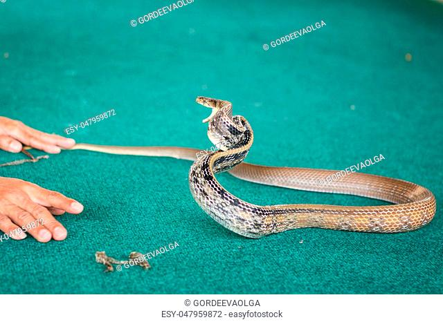 Pattaya, Thailand show snakes by playing with a snake during the show