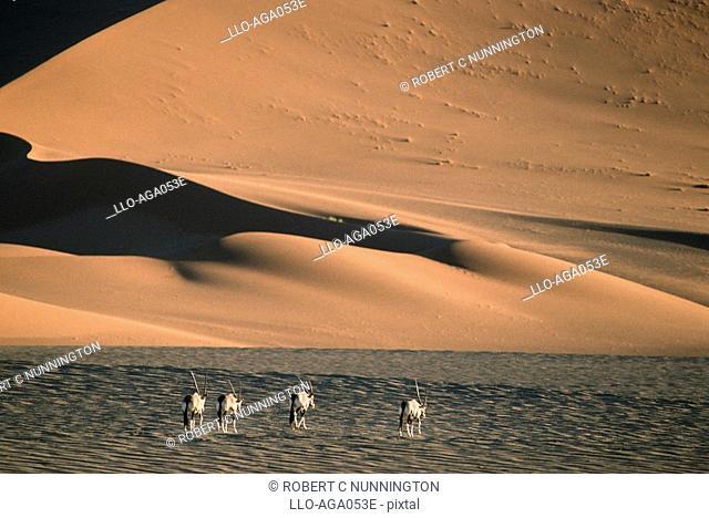 Herd of Gemsbok Oryx gazella Walking on Dry Desert Plain  Namib Naukluft National Park, Namibia