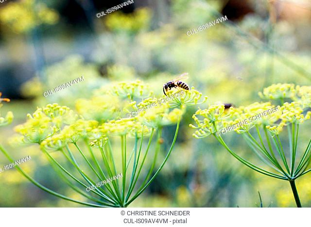 Close up of wasp feeding on weed with yellow blossom