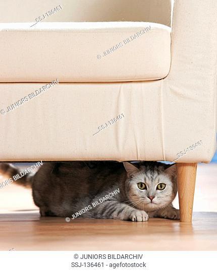 behaviour : British Shorthair cat under chair restrictions: Tierratgeber-Bücher / animal guidebooks