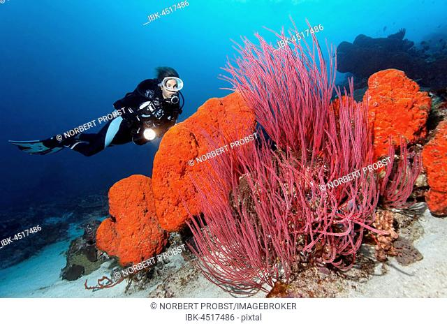 Diver is looking at the Orange elephant ear sponge (Agelas clathrodes) and the Red whip coral (Ellisella ceratophyta), Raja Ampat, Papua Barat, West Papua