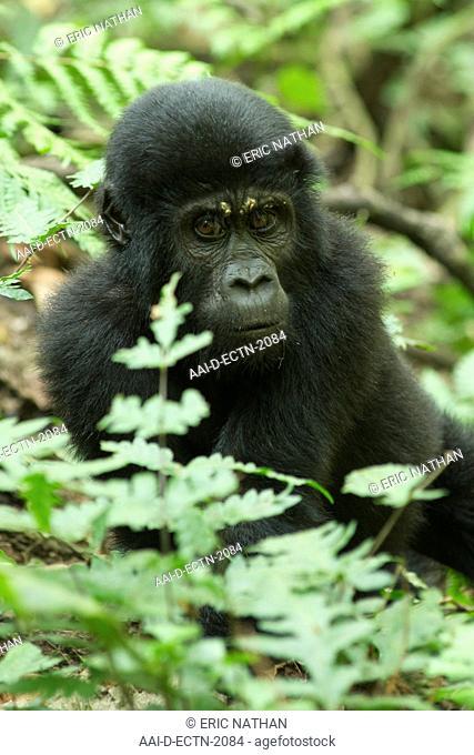 Mountain gorillas Gorilla beringei beringei in Bwindi Impenetrable National Park in southern Uganda