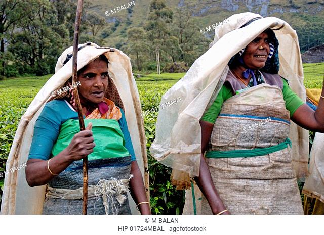 WOMEN WORKING IN TEA GARDENS OF KANNAN DEVAN HILLS, MUNNAR