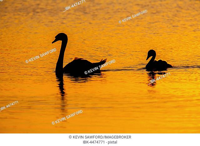 Mute swan (Cygnus olor), adult and cygnet swimming on lake at sunset, Suffolk, England, United Kingdom