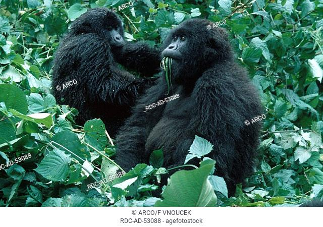Mountain Gorillas grooming females Zaire Congo Gorilla gorilla beringei