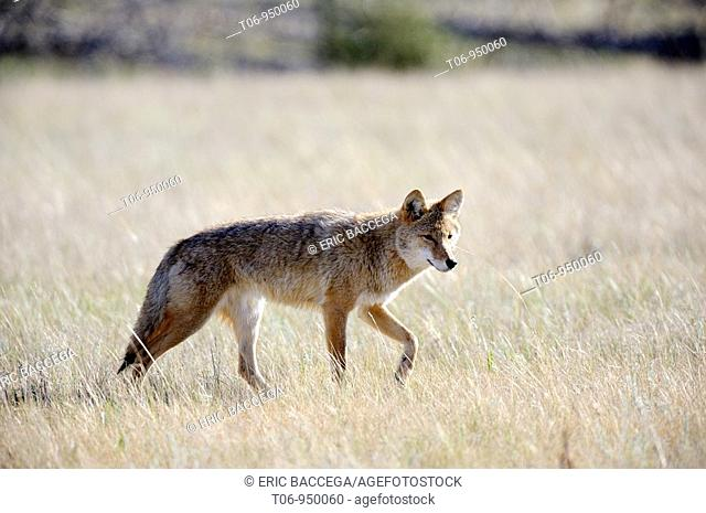 Adult coyote Canis latrans stalking prey in high grass  Jasper National Park, Rocky Mountains, Alberta, Canada