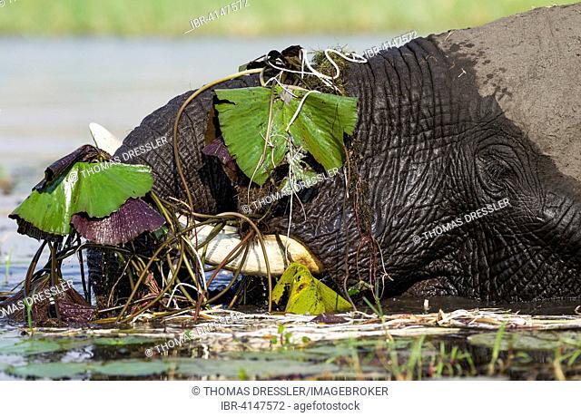 African Elephant (Loxodonta africana), cow feeds on aquatic plants in the Chobe River, Chobe National Park, Botswana