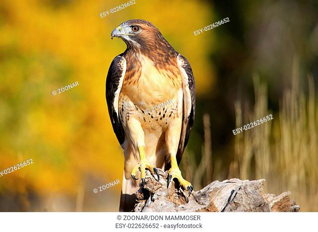 Red-tailed hawk (Buteo jamaicensis) sitting on a s