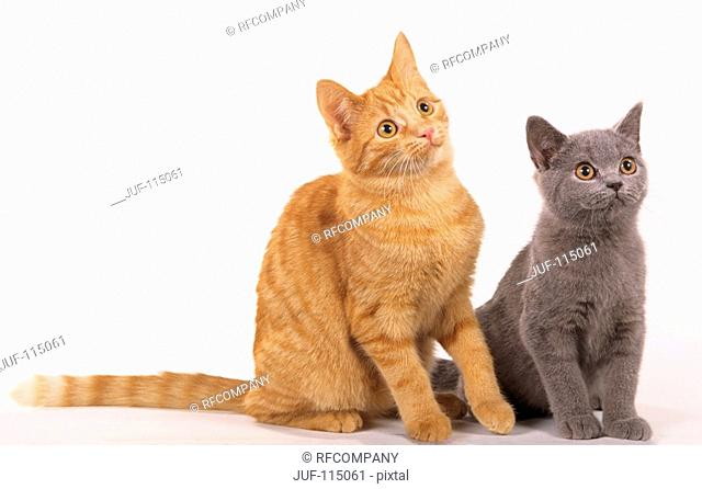two young European Shorthair - sitting - cut out