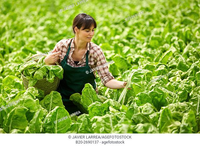 Farmer, Chards collection, Beta vulgaris var. cicla, Greenhouse, Agricultural field, Villafranca, Navarre, Spain