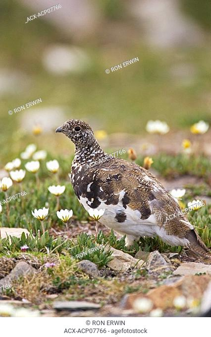 White-tailed ptarmigan Lagopus leucurus and white mountain avens on Whistlers Mountain, Jasper National Park, Alberta, Canada