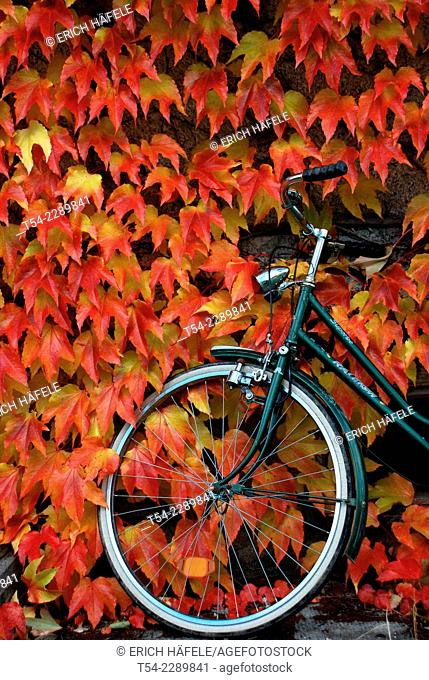 Bicycle leaning against the autumn leaves on the wall of a house