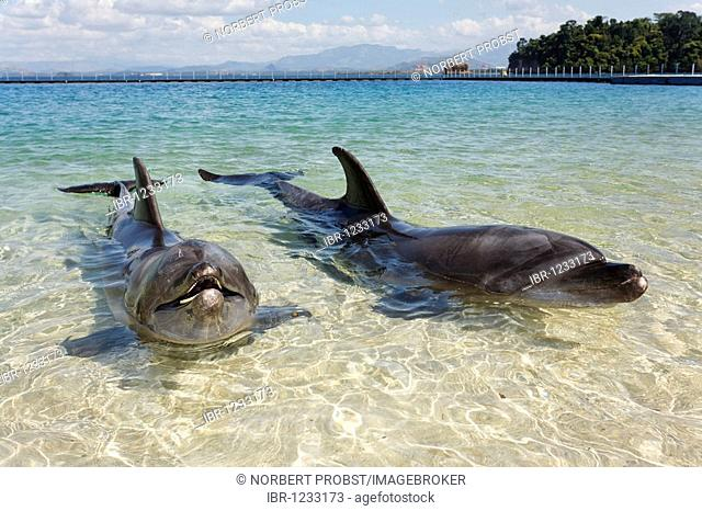 Two Bottlenose Dolphins (Tursiops truncatus), shallow water, Ocean Adventure, Subic Bay, Luzon, Philippines, South China Sea, Pacific