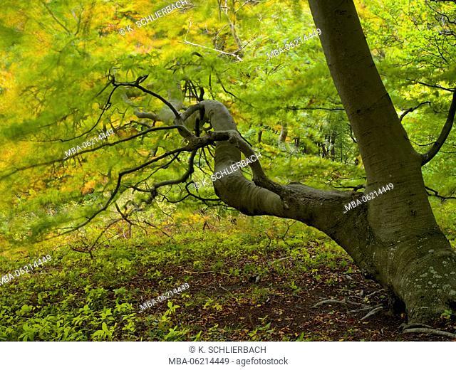 Denmark, Island Moen, old beech tree in the forest of Mon's Klint, Klinteskoven