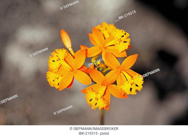 Fire star orchid Epidendrum radicans), Costa Rica
