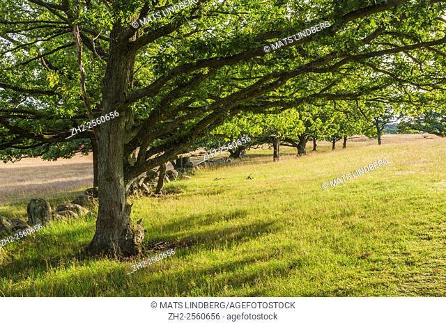 pasture with oak trees in Haväng, Sweden