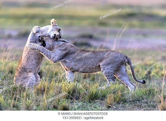 lionesses play fighting in Masai Mara National Reserve, Kenya