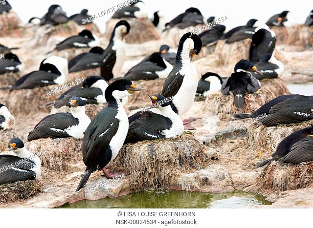 Group of King Cormorants (Phalacrocorax atriceps) at colony, Falkland Islands, Sea Lion Island