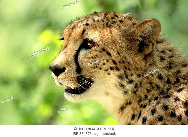 Cheetah (Acinonyx jubatus) adult, portrait, Sabie Sand Game Reserve, South Africa