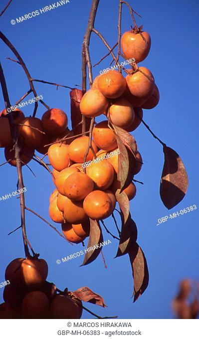 Tree, Khaki, fruit, Diospyros kaki, scientific name